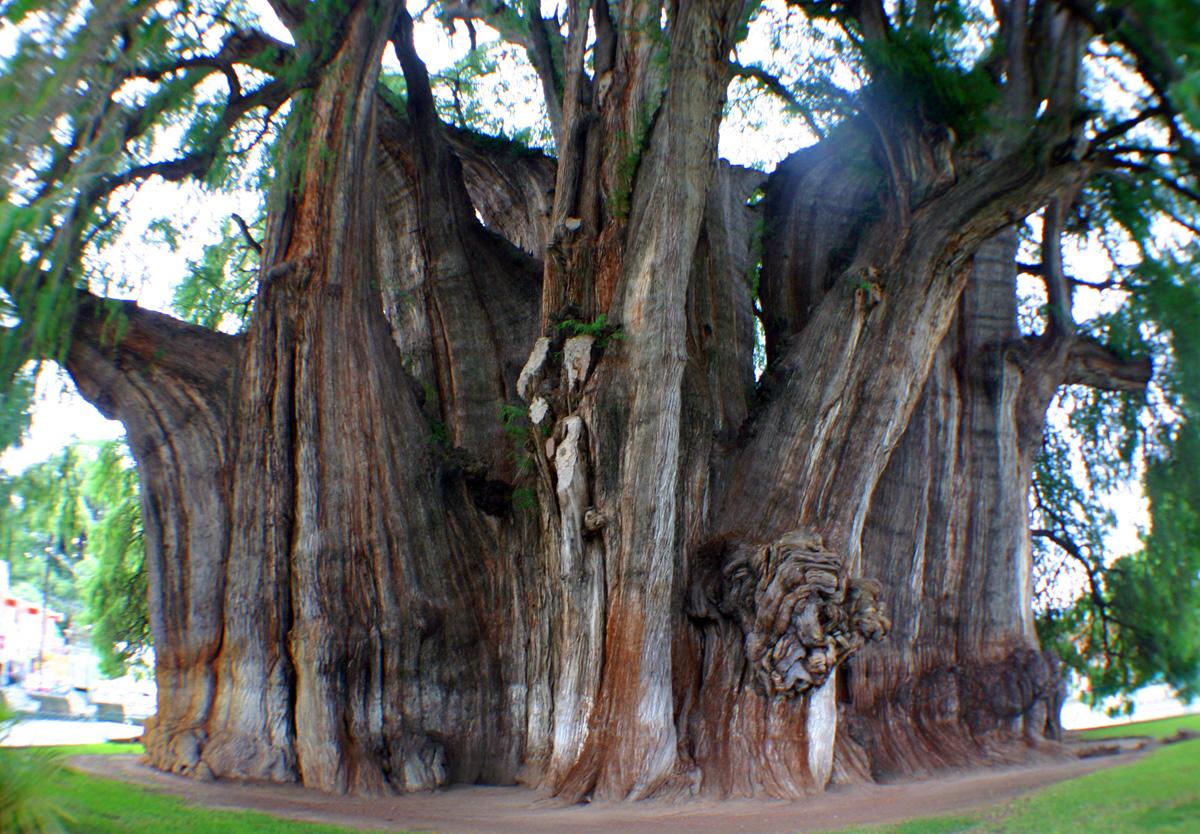 Tule worlds biggest tree hd walls find wallpapers